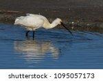 eurasian or common spoonbill in ... | Shutterstock . vector #1095057173