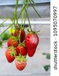 mold strawberry food botrytis... | Shutterstock . vector #1095070997
