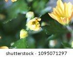 beautiful gerbera l.  transvaal ... | Shutterstock . vector #1095071297