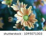 beautiful gerbera l.  transvaal ... | Shutterstock . vector #1095071303