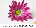 beautiful gerbera l.  transvaal ... | Shutterstock . vector #1095071387