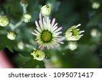 beautiful gerbera l.  transvaal ... | Shutterstock . vector #1095071417