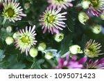 beautiful gerbera l.  transvaal ... | Shutterstock . vector #1095071423