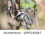long tailed tit on tree branch... | Shutterstock . vector #1095142067