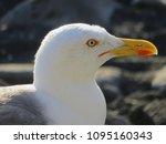gull with yellow and red beak   | Shutterstock . vector #1095160343