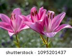 close up of pink liles flowers. ... | Shutterstock . vector #1095201437