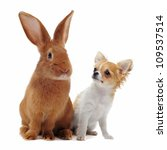 portrait of a cute purebred  puppy chihuahua and bunny in front of white background - stock photo