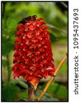 tapinoch wax ginger plant   Shutterstock . vector #1095437693