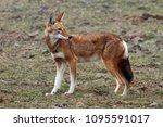 ethiopian wolfon the sanetti... | Shutterstock . vector #1095591017