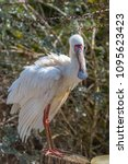 African Spoonbill  Platale...