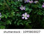 rosa multiflora thunb   Shutterstock . vector #1095803027