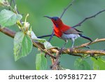 beautiful bird  male of crimson ... | Shutterstock . vector #1095817217