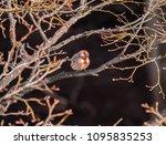 male house finch   Shutterstock . vector #1095835253