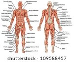 anatomy of male muscular system ...   Shutterstock .eps vector #109588457