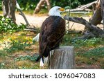 Small photo of Close-up of Bald Eagle or American Eagle (Haliaeetus Leucocephalus). Family Accipitridae. Raptor or bird of prey. Penetrating gaze, curved beak and dense plumage. National symbol of the United States