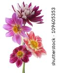 Stock photo studio shot of dahlia flowers isolated on white background large depth of field dof macro 109605353