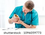 veterinarian examining guinea... | Shutterstock . vector #1096059773