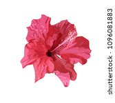 isolated red hibiscus tropical... | Shutterstock . vector #1096081883