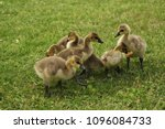 Small photo of Geese with brood on the grass in a park with a pond.
