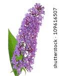 Buddleja Davidii Purple Flower...