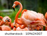 Pink Flamingos Against Green...
