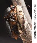 Small photo of bug golofa portery