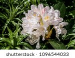 Cunningham's White Rhododendro...