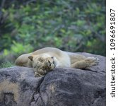 Lioness Laying On The Rock