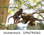 baboon in the forest of lake... | Shutterstock . vector #1096796363