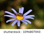 hover fly drinking nectar | Shutterstock . vector #1096807043
