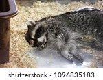 procyon lotor. raccoon asleep   Shutterstock . vector #1096835183