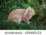 Cinnamon Brown Bunny Rabbit...