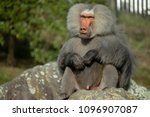male baboon sits on a rock | Shutterstock . vector #1096907087