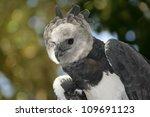 Harpy Eagle  Harpia Harpyja ...