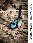 Small photo of Inquisitive Superb Fairy Wren fossics in leaf litter.