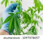 growing marijuana. leaves of... | Shutterstock . vector #1097078057