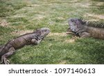 large wild iguanas roaming free ... | Shutterstock . vector #1097140613