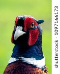 Small photo of Portrait of a Male Ring-necked pheasant
