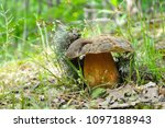 fresh porcini mushrooms in... | Shutterstock . vector #1097188943