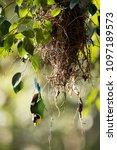 long tailed broadbill dropping... | Shutterstock . vector #1097189573