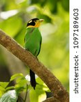 long tailed broadbill with nest ... | Shutterstock . vector #1097189603