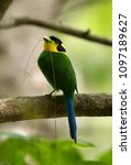 long tailed broadbill with a... | Shutterstock . vector #1097189627
