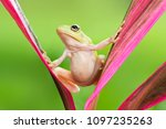 Frog on the water  dumpy frog ...