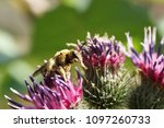 close up of a small bee... | Shutterstock . vector #1097260733