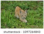 a northern lynx in the forest | Shutterstock . vector #1097264843