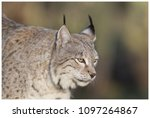 a northern lynx in the forest | Shutterstock . vector #1097264867