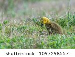 a cute baby canada goose gosling | Shutterstock . vector #1097298557