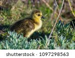 a cute baby canada goose gosling | Shutterstock . vector #1097298563