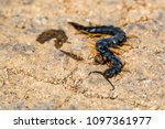 Small photo of Crushed Megarian centipede or Scolopendra cingulata