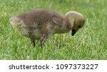 gosling greylag goose x canada... | Shutterstock . vector #1097373227